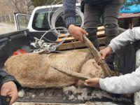 Yaralı dağ keçisine vatandaşlardan müdahale
