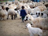 Çemişgezek'te koyun ve kuzuların renkli buluşması