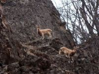 Munzur Vadisi'nde yaban keçileri görüntülendi