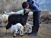 Anneleri ölen kuzulara keçi annelik yapıyor