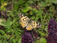Diken kelebekleri, doğaya renk katıyor