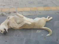 Ölü taklidi yapan köpek