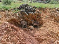 Yiyecek arayan yaban keçileri yola indi