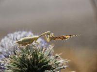 """""""Peygamber devesi"""" böceği, kelebek avlarken görüntülendi"""