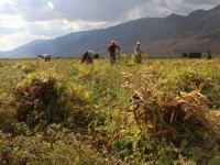 Organik fasulye hasadı başladı