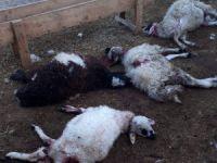 Kurtlar 30 koyun ve kuzuyu telef etti