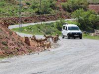 Dağ keçileri sürü halinde karayoluna indi