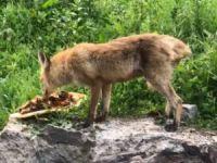 Tilki karnını doyurdu, kurt ise derede serinledi