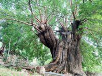 Bin yıllık dut ağaçları bölgenin ekonomisine katkı sağlıyor