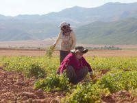 Ovacık'ta Kadın tarım işçileri fasulye mesaisinde