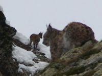 Vaşak ile dağ keçileri aynı karede