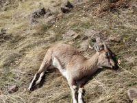 Dağ keçilerinde yeni ölüm!