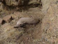 Yıldırım: Yaban keçilerinin ölümüne karşı yetkililer ciddi önlemler almalıdır VİDEO