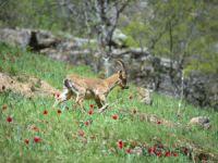 Yaban keçileri Munzur Vadisi Milli Parkı'na güzellik katıyor