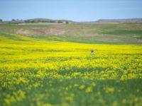 Yabani hardal çiçekleri tarlaları sarıya bürüdü