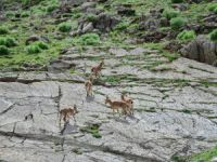 Koruma altındaki yaban keçileri Dersim dağlarına güzellik katıyor