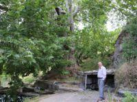 Bin yıllık çınar, 22 metre gövdeye sahip