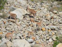 Koruma altındaki yaban keçileri Dersime ayrı bir güzellik katıyor