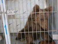 Yaralı yavru ayı, sağlığına kavuştu VİDEO