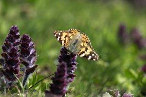 diken-kelebekleri,-dogaya-renk-katiyor-(4).jpg