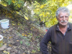 Pülümür'de ceviz hasadı başladı